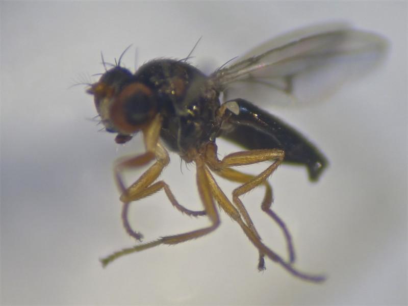 Psilopa leucostoma