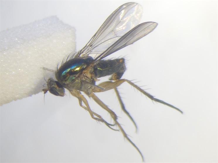 Poecilobothrus ducalis