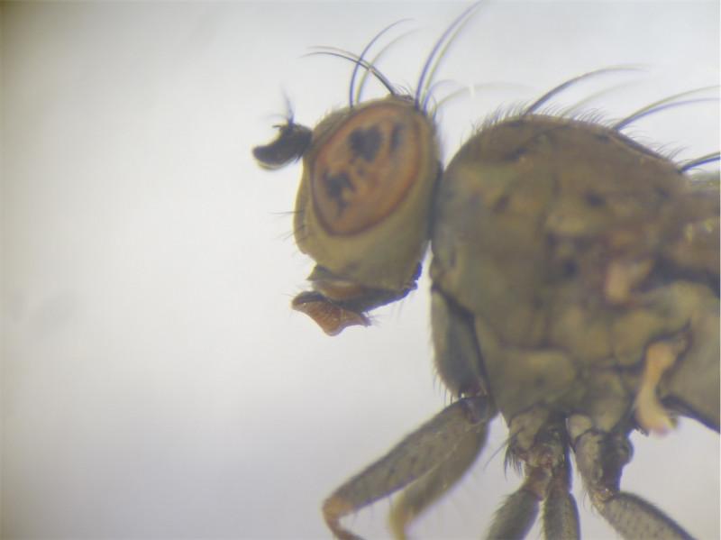Notophila nigricornis