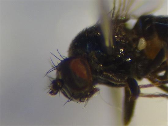 Psilopa nigritella