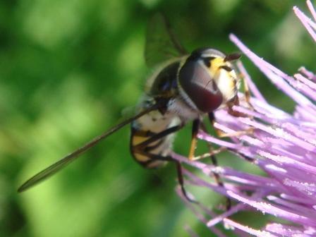 Didea intermedia Dennendidea(m)