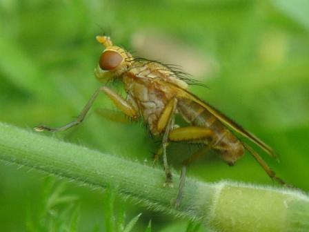 Tetanocera cf. elata/phyllophora