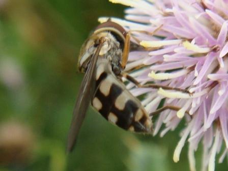 Platycheirus peltatus Scheefvlekplatvoetje(m)