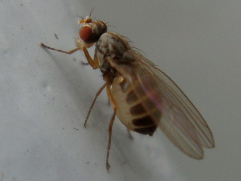 Scaptomyza pallida Soort Fruitvlieg