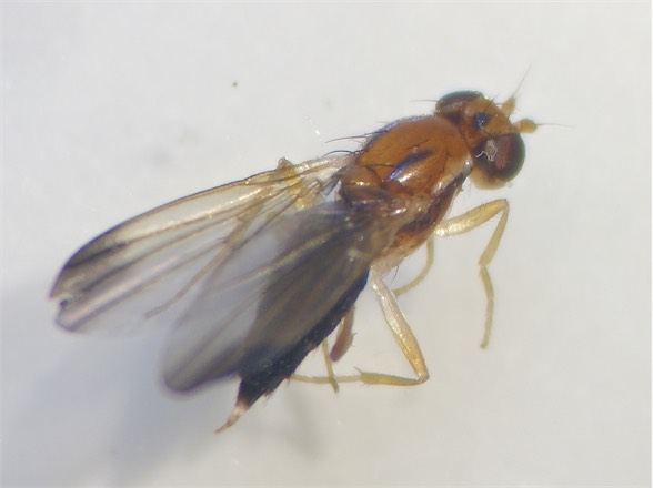 Clusiodes ruficollis