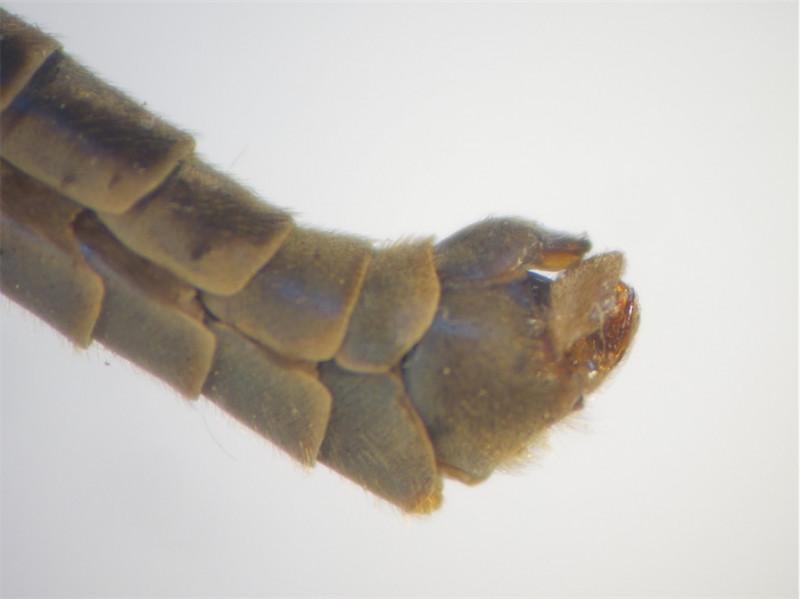 Tipula vittata(m)