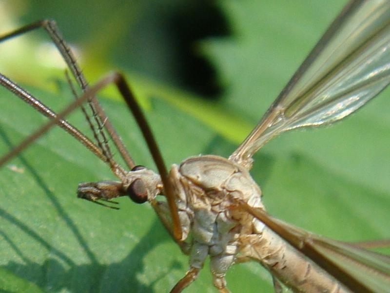 Tipula paludosa(m)