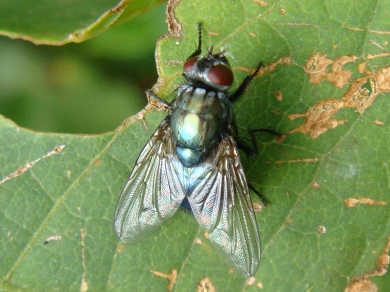 Eudasyphora cyanella(f)