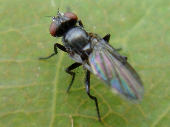 Melanomya nana(f)