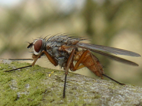 Mycophaga testacea