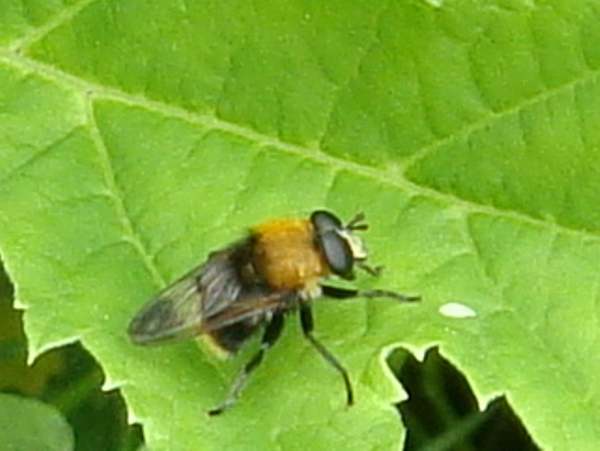 Criorhina berberina Kleine Woudzwever(m)