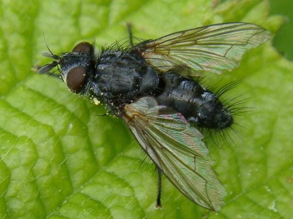 Phorocera obscura(f)