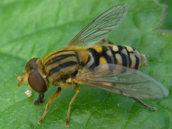 Parphelophilus versicolor Gewoone Fluweelzweefvlieg(f)