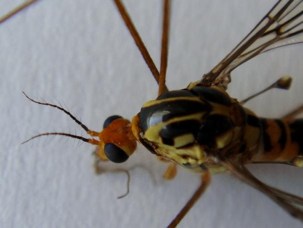 Nephrotoma flavipalpis(f)