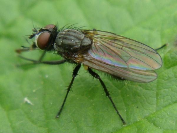 Botanophila striolata(m)