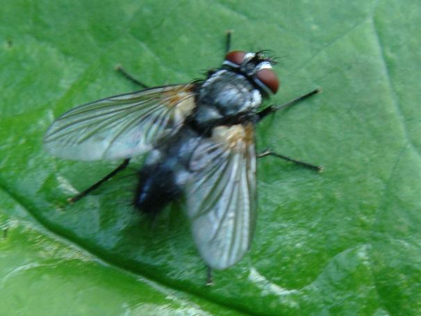 Thelaira nigripes(m)