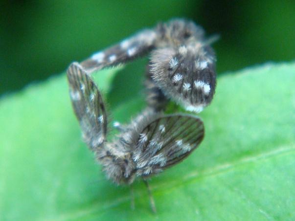Psychodidae spec.