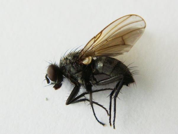 Phaonia halterata(f)