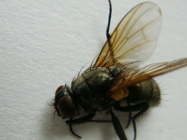 Mydaea nebulosa(f)