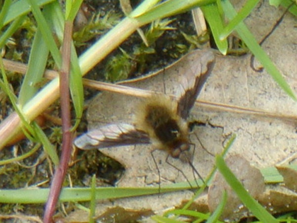 Bombylius major Gewone Wolzwever