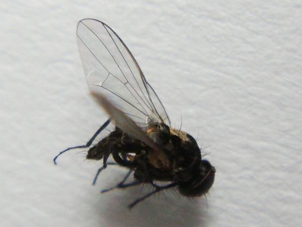 Azelia triqueta