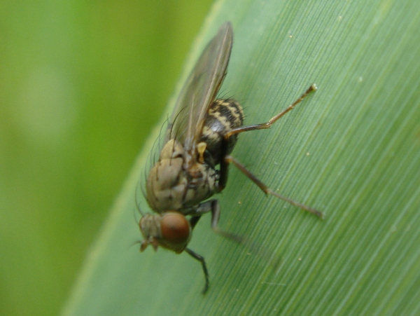 Notophila spec.