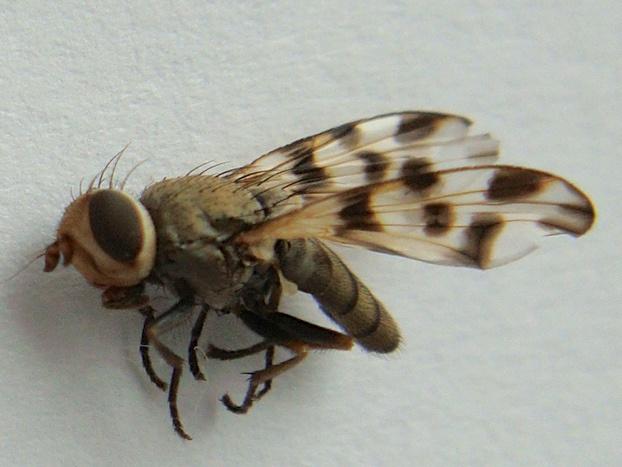 Melieria crassipennis