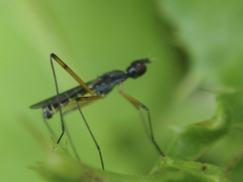 Micropeza corrigiolata