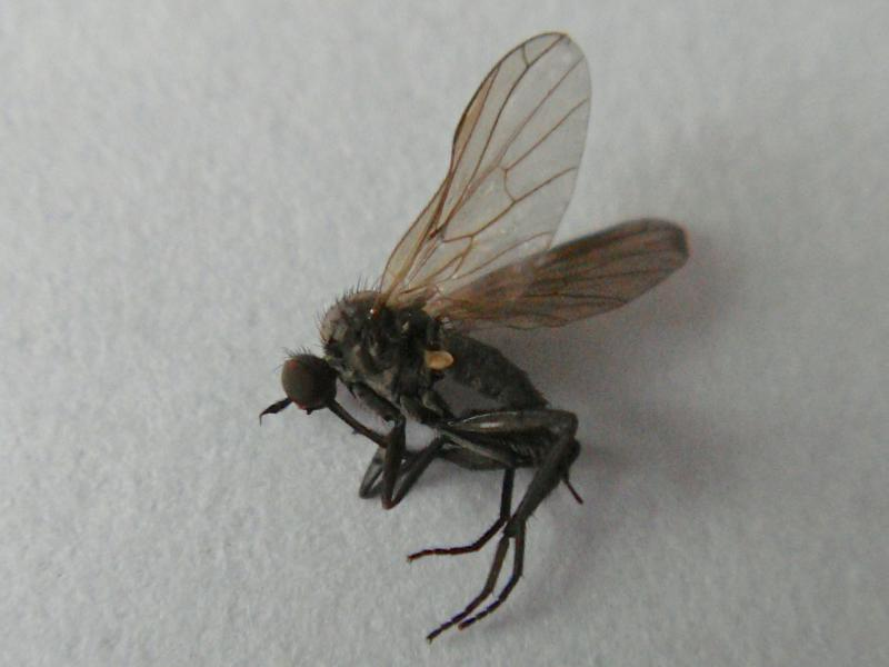 Empis nigripes(f)