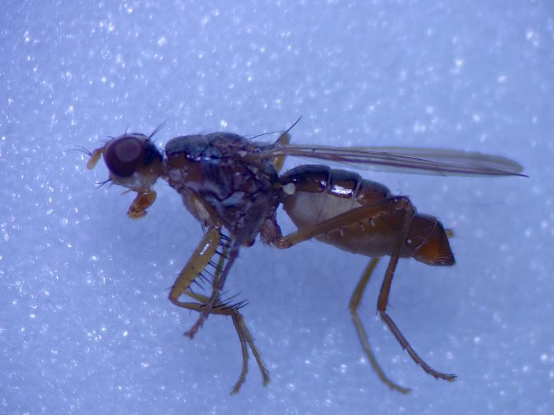 Norellia spinipes