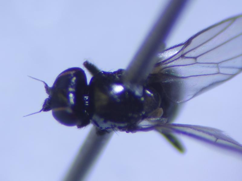 Oscinella nitidissima