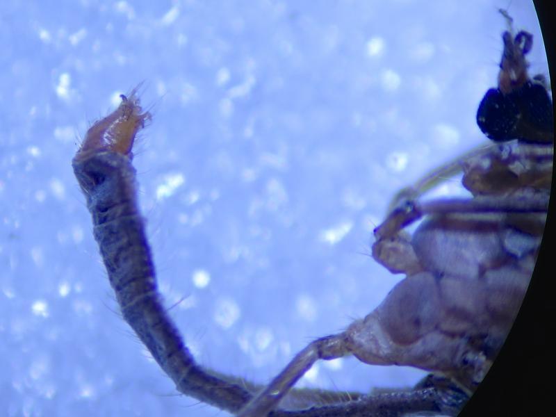 Cheilotrichia cinerascens