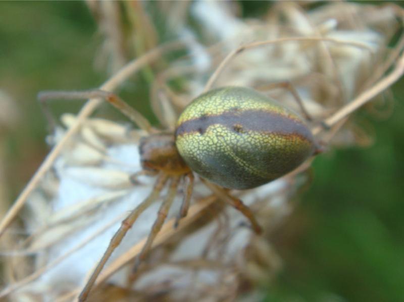 cf.Cheiracanthium erraticum Heidespoorspin