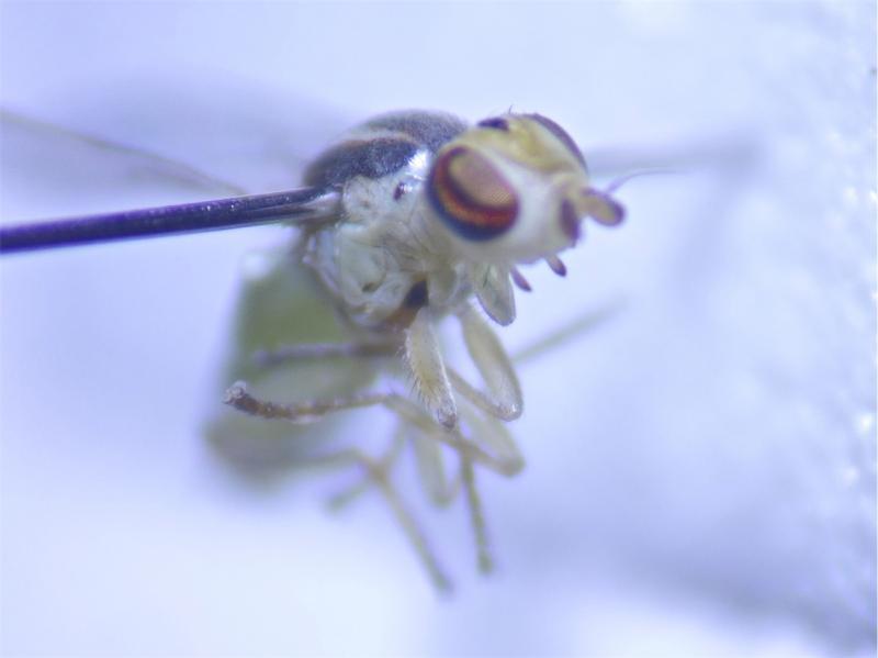 Meromyza rohdendorfi
