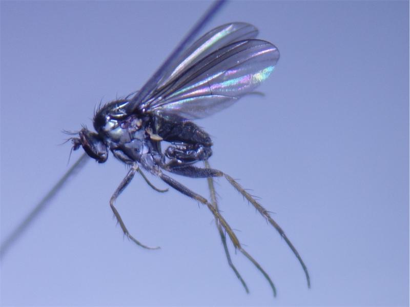 Hercostomus cupreus