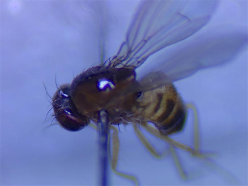Drosophila testacea