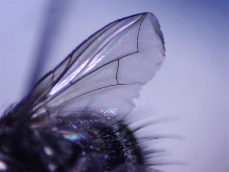 Platymya fimbriata