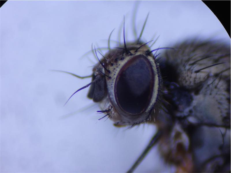 Siphona geniculata
