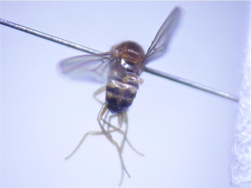 Drosophila histrio