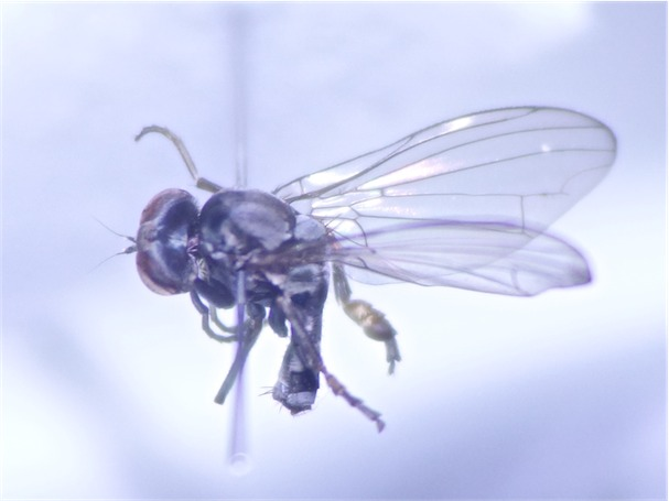 Paraplatypeza bicincta
