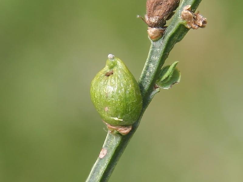 Asphondylia sarothamni (Loew, 1850) 1e generatie
