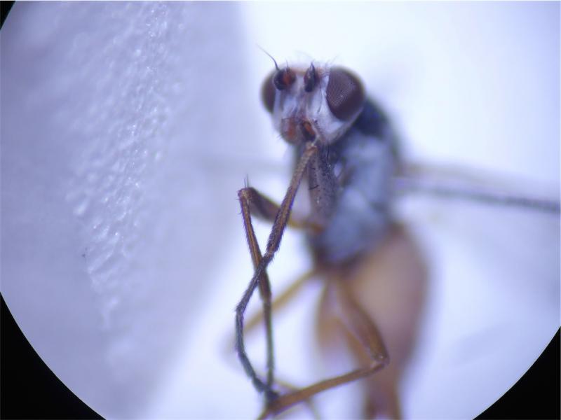 Tephrochlamys tarsalis