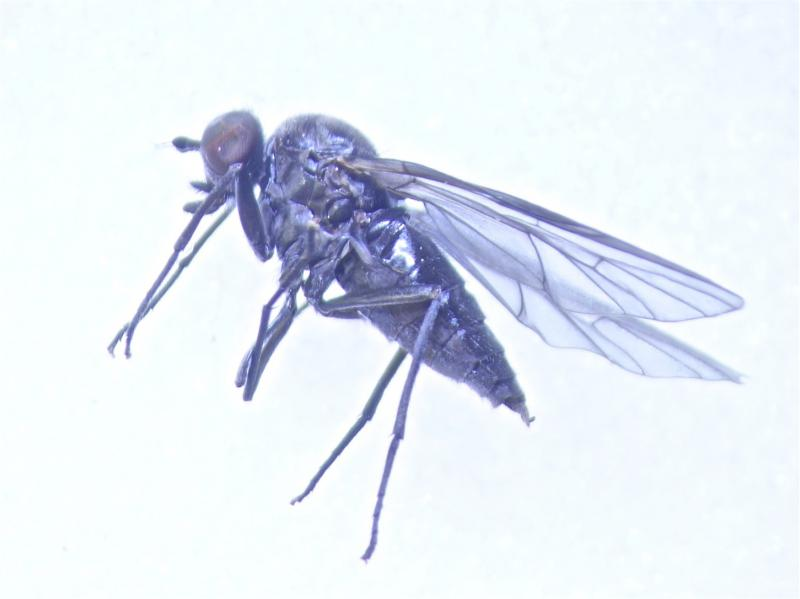 Ptiolina nigrina