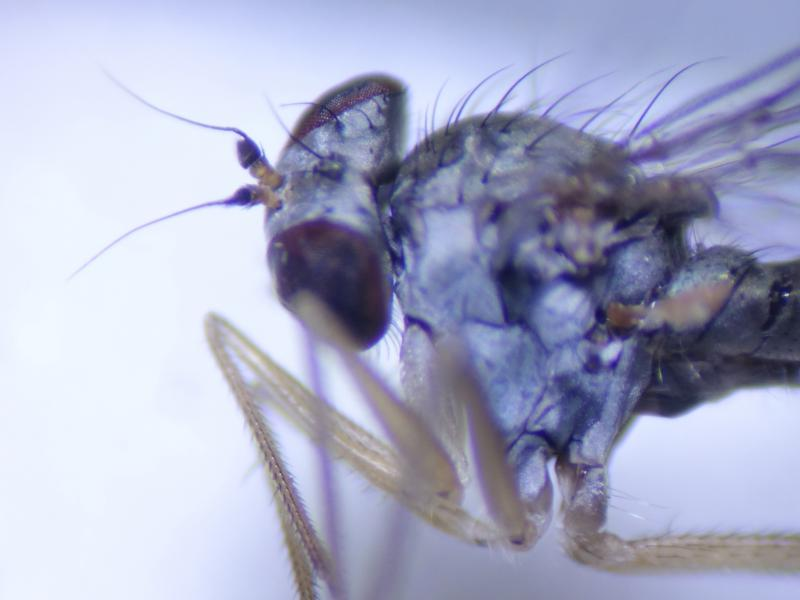 Sciapus basilicus