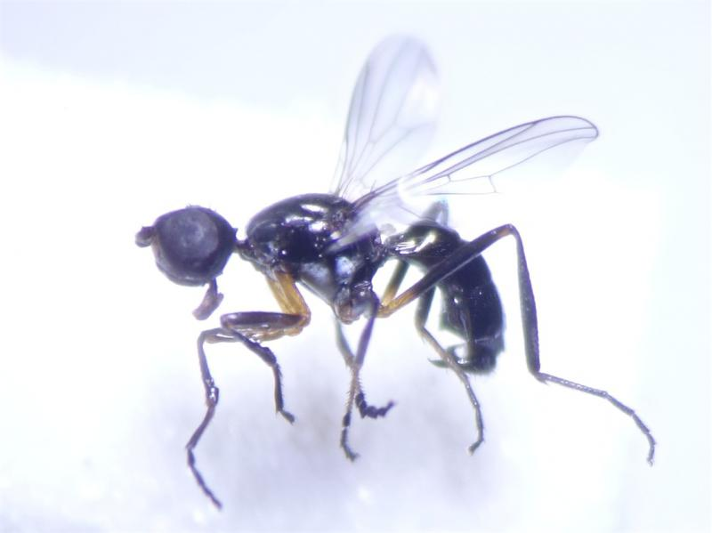 Themira annulipes