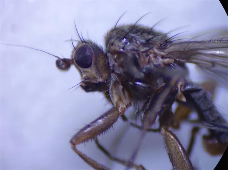 Oecothera fenestralis