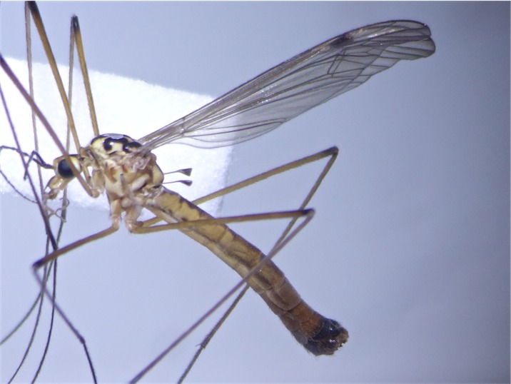 Nephrotoma cornicina