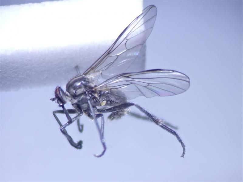 Rhaphomyia maculipennis(m)