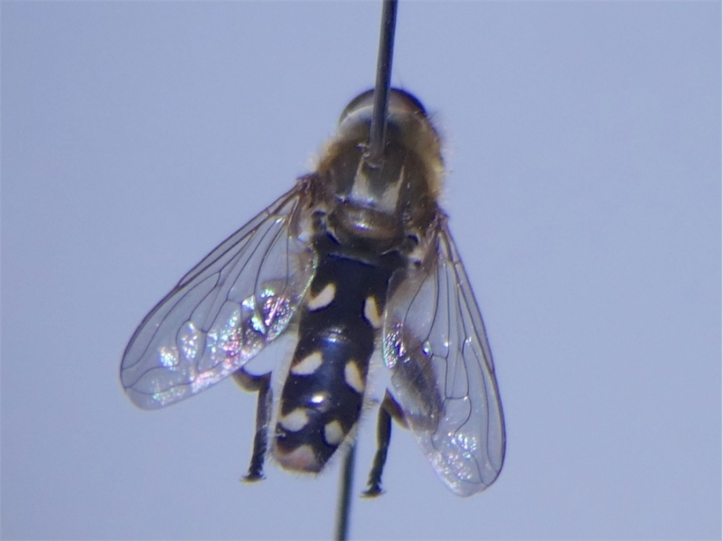 Anasimyia transfuga Rechte Waterzweefvlieg(f)