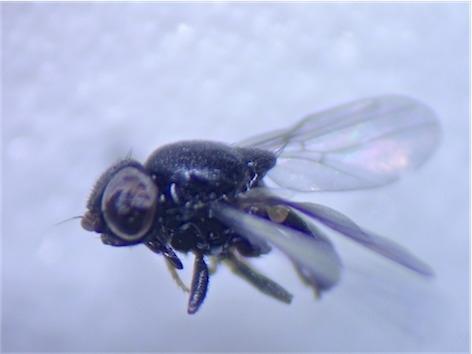 Calamoncosis glyceriae